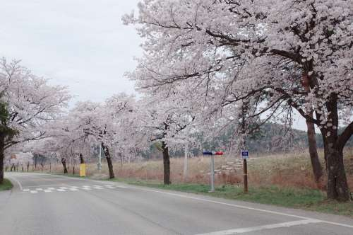 Republic Of Korea Cherry Blossom Flowers Spring