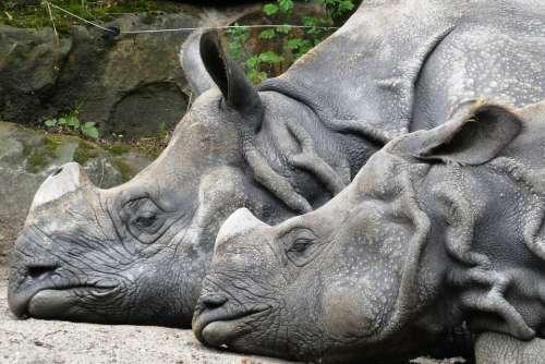 Rhino Zoo Wild Animals Blijdorp Rotterdam Skin