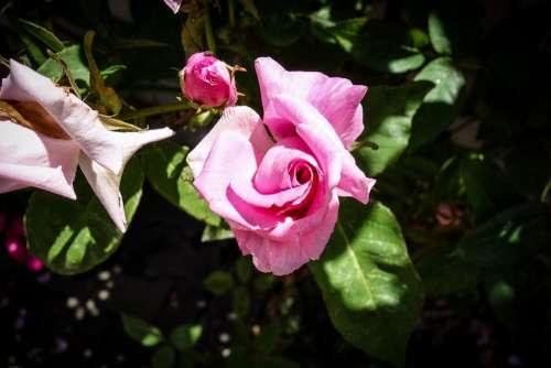 Rose Rose Bloom Blossom Bloom Flower Nature