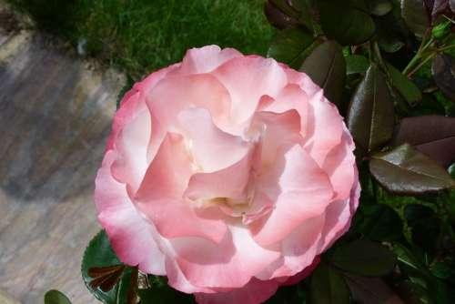 Rose Flower Bloom Pink Flush Petals Nostalgia