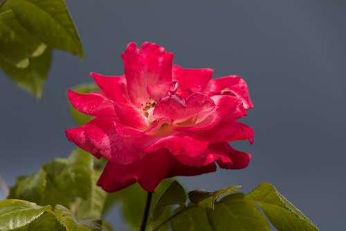 Rose Flower Flower Garden Petals Nature Summer