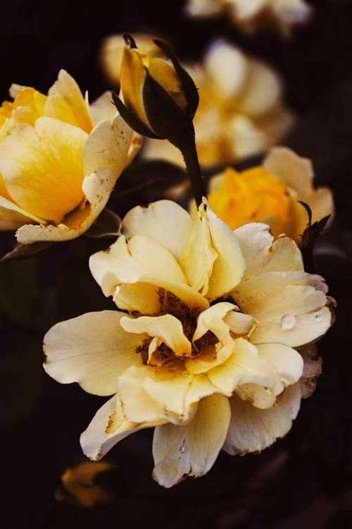 Rose Roses Summer Rosen Sommer Flowers Novel