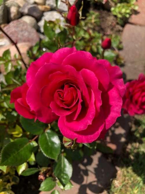 Rose Blossom Bloom Flower Romantic Nature