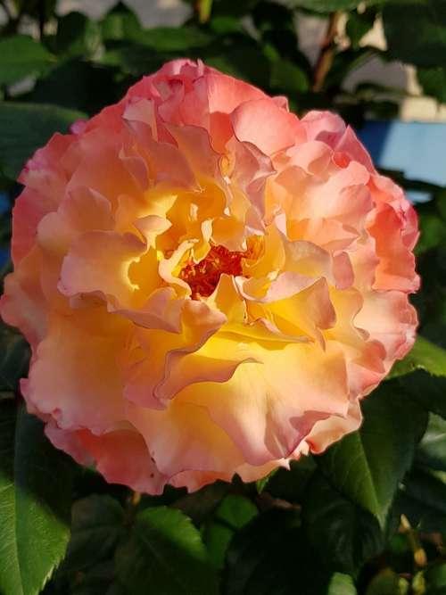 Rose Blossom Bloom Romantic Pink Yellow Beauty