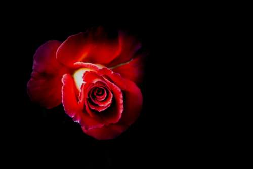 Rose Red Flower Love Wedding Floral Beauty