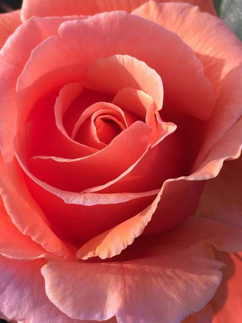 Rose Flower Pink Nature Flowers Flora Romance