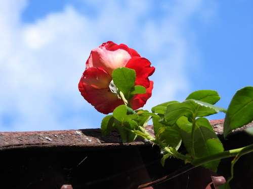 Rose Curly Flower The Roof Of The Sky Figure