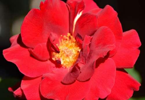Rose Flower Romantic Romance Red Floral Flora