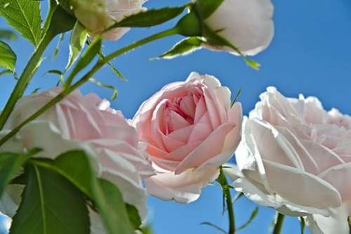 Roses Pink White Sky Blue Summer