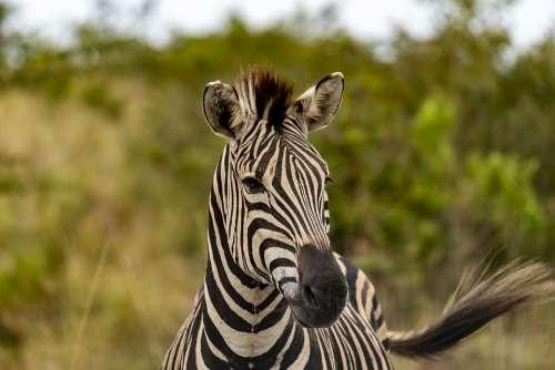 Safari Africa Zebra Animal World Stripes Nature