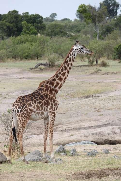 Safari Africa Animal Nature Wilderness Wild