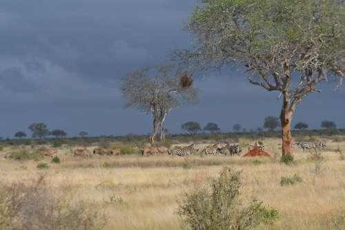Savanna Nature Animals Africa Zebra Antelope
