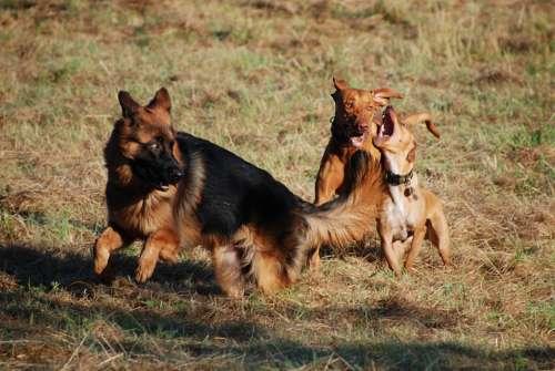 Schäfer Dog Dog Animal Pet Courage Attention