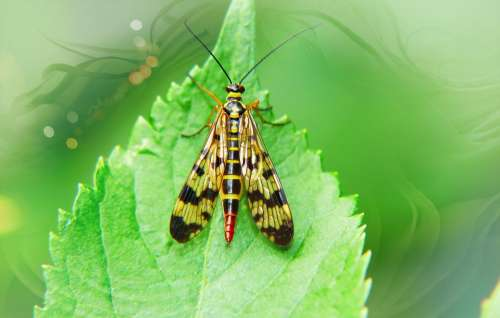 Scorpionica Total Female Insect Wings Model Leaf