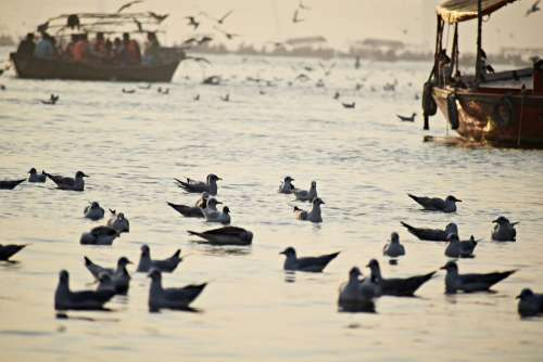 Seabirds Ganges Seagulls Flight Holy Culture