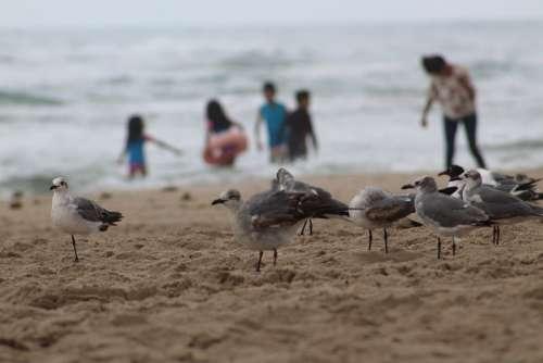 Seagulls Birds Beach Sand Ocean Costa Blue