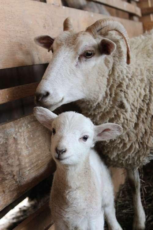 Sheep Lamb Baby Sheep Mama Sheep Wool Animal Farm