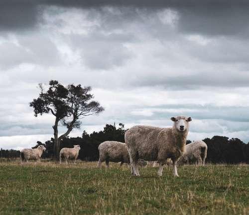 Sheep Nature New Zealand Animals Landscape Grass
