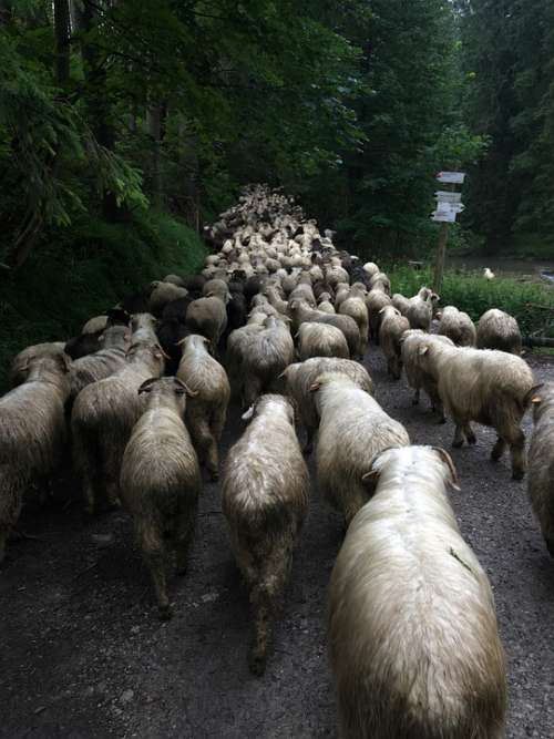 Sheep Mountain Poland Nature Animal Forest Road