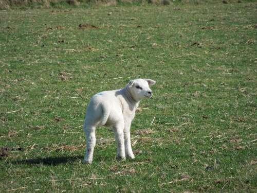 Sheep Pasture Lamb Wool Farm Meadow Animal