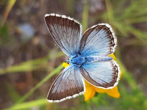 Silver Blue Butterfly Nature Insect Macro