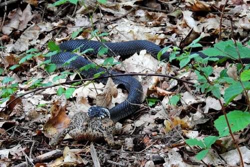 Snake Grass Snake Gad Nature Wild