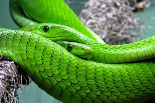 Snake Mamba Green Mamba Toxic Lizard Reptile