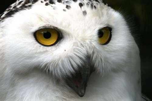 Snowy Owl Eyes Beak Head Feathers Plumage White