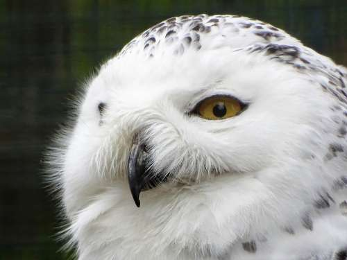 Snowy Owl Animal Nature Raptor Feather