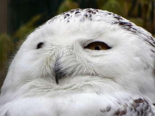 Snowy Owl Animal Bird Feather White Eyes Zoo