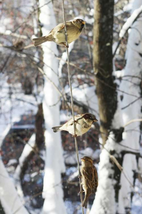 Sparrows Winter Russia Mood Sentiment
