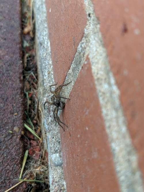 Spider Hunter Arachnid Bug Insect Crawl Friendly