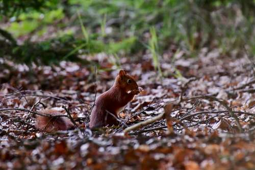 Squirrel Forest Mammal Rodent Nature Outdoor Food