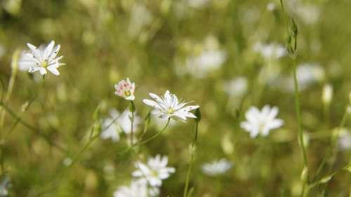 Stellaria Wildflowers Butterfly Flower White
