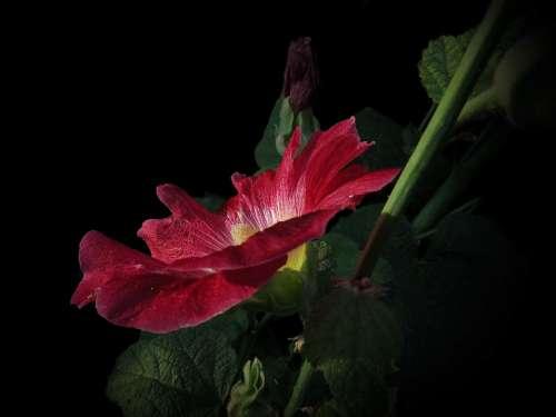 Stock Rose Red Blossom Bloom Flower Bright