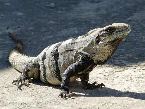 Stone Iguana Iguana Mexico South America Dinosaur