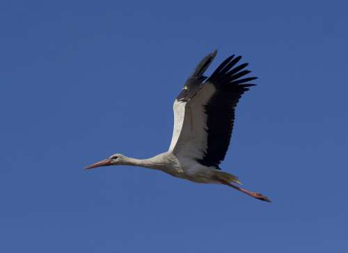 Stork White Stork Birds Plumage Elegant Nature