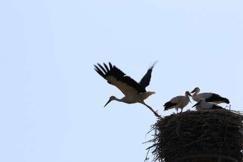 Stork Flight Wing Flying