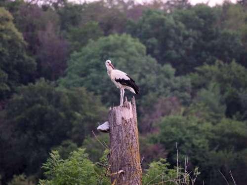 Storks Nature Rattle Stork Animal World
