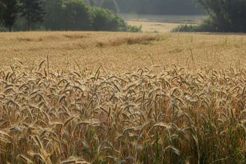 Summer Cereals Field Harvest Agriculture Cornfield