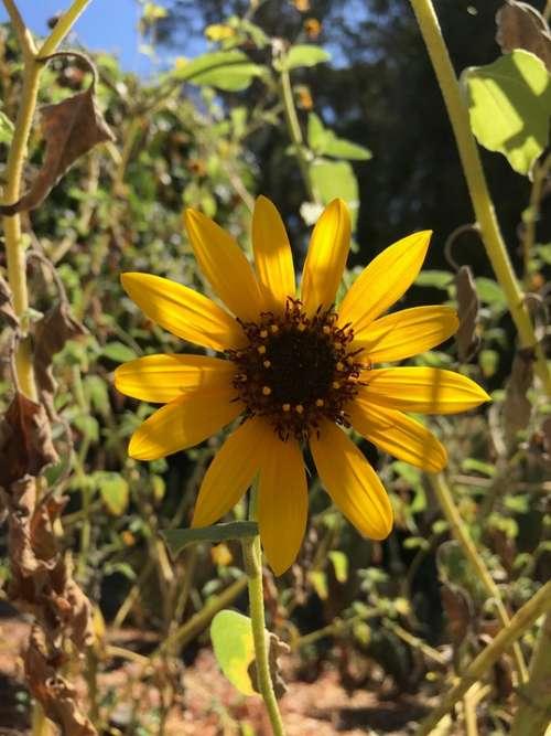 Sun Flower Summer Sun Nature Sunlight Calm Yellow