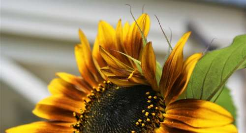 Sunflower Terra Cotta Petals Bloom Garden Plant
