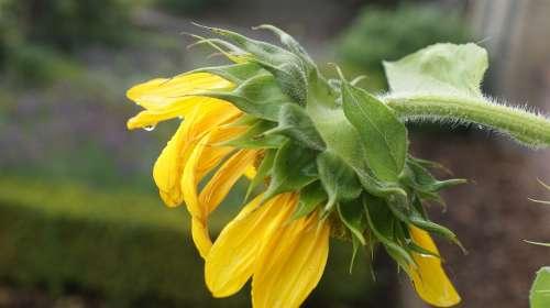 Sunflower Garden Button Open Hang Rain Color