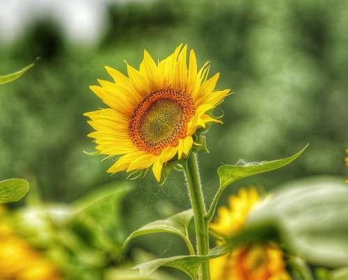 Sunflower Petals Yellow