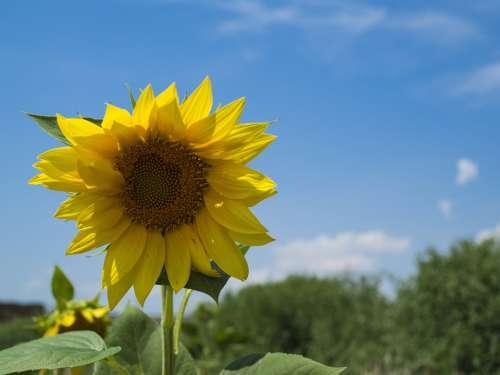 Sunflower Flower Yellow Summer Flora Petals