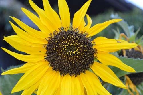 Sunflower Garden Flower Plant Summer Yellow