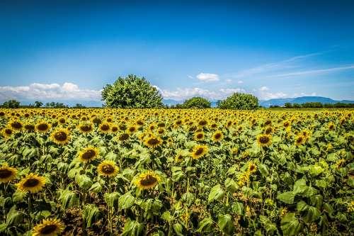 Sunflowers Sky Clouds Sunflower Summer Flowers