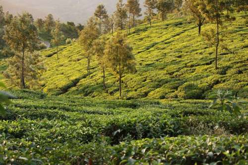 Sunrise Tea Travel Plantation India Drink Green