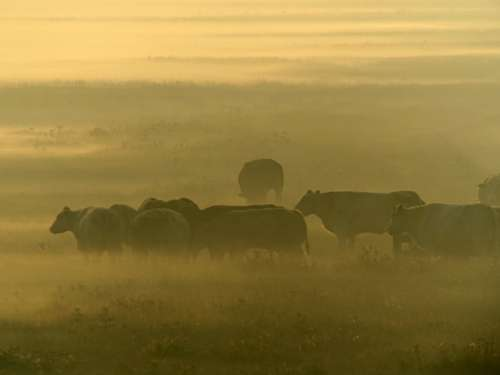 Sunrise Cows Area Pasture Mist