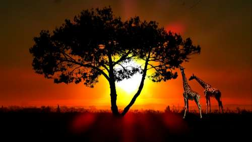 Sunset Giraffes Nature Animals Landscape Wild Sky